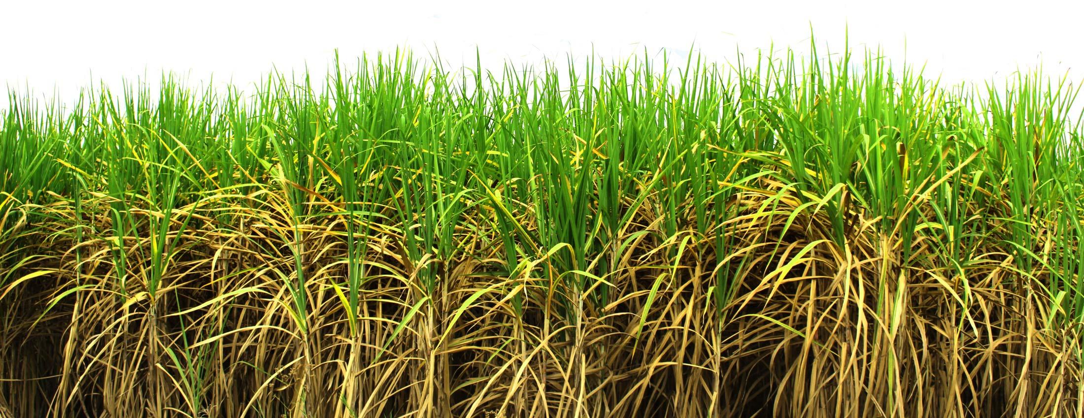 sugarcane stalk